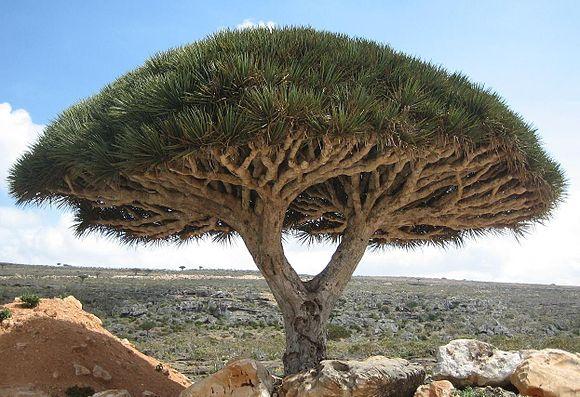 arbre-dragonnier.