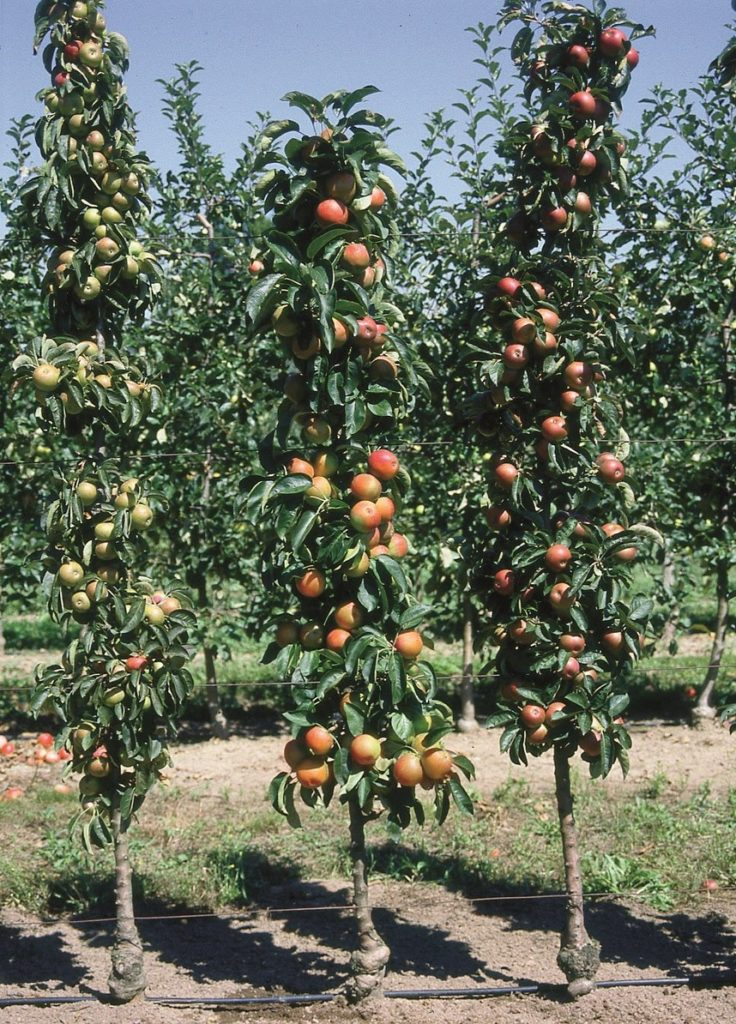 arbre-fruitier.