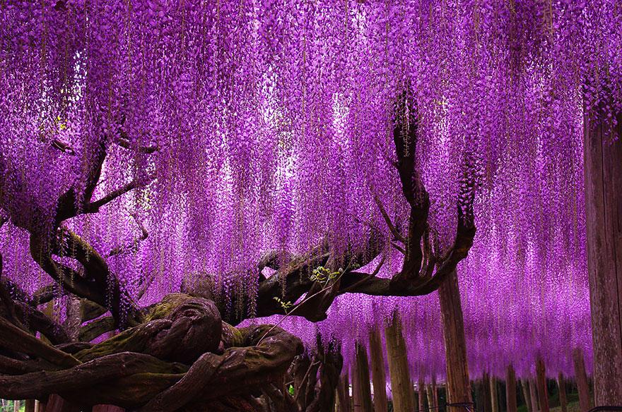 arbre-glycine-au-Japon