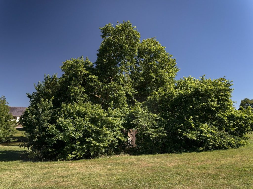 arbre-le-platane-de-Missillac