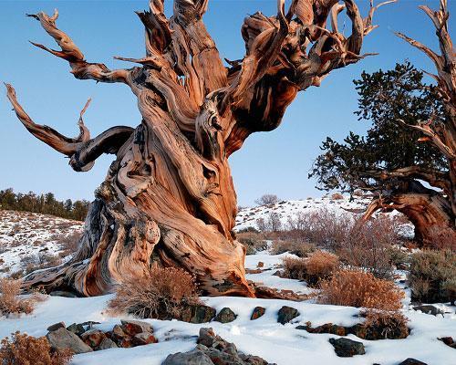 arbre-le-plus-vieux-du-monde
