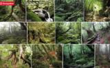 arbres- Forêt-de-Yakushima-Japon-cèdres-ayant-5-000-ans.